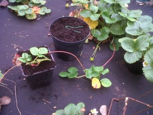 rooting strawberry runners into pots of compost