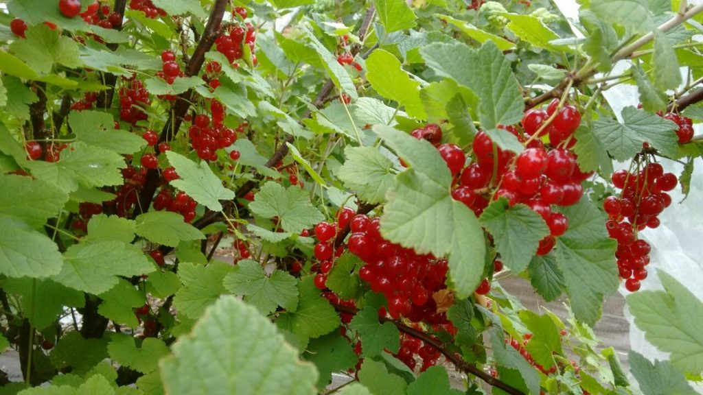 Redcurrant bush heavily laden with fruit