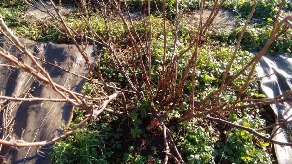 This redcurrant bush has been pruned to create a more open, goblet-like shape.