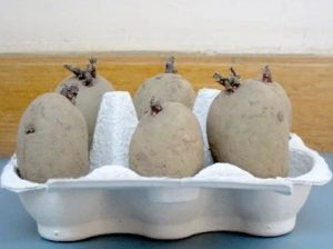 chitting seed potatoes in an old egg box