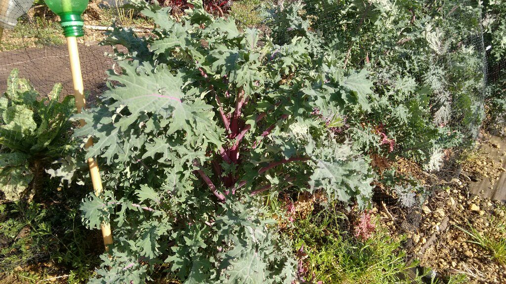 Red Russian Kale - by far the best of the brassicas?
