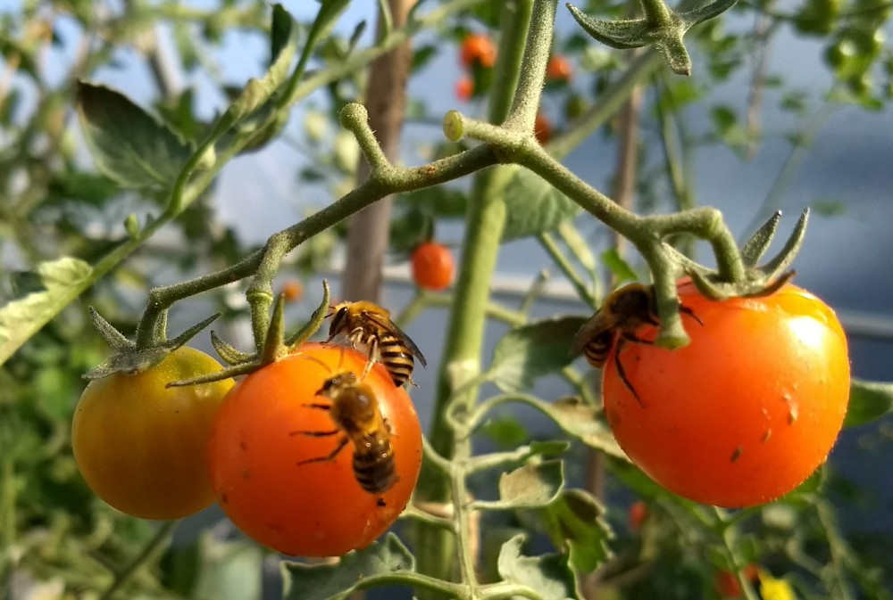 ivy bees on tomatoes in polytunnel in UK
