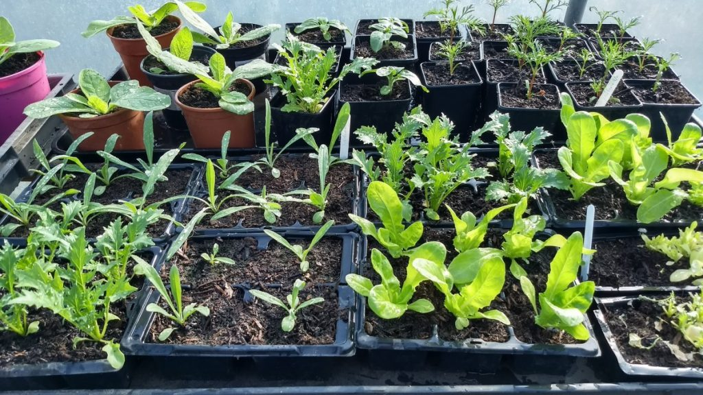 A selection of young plants on a bench in the polytunnel