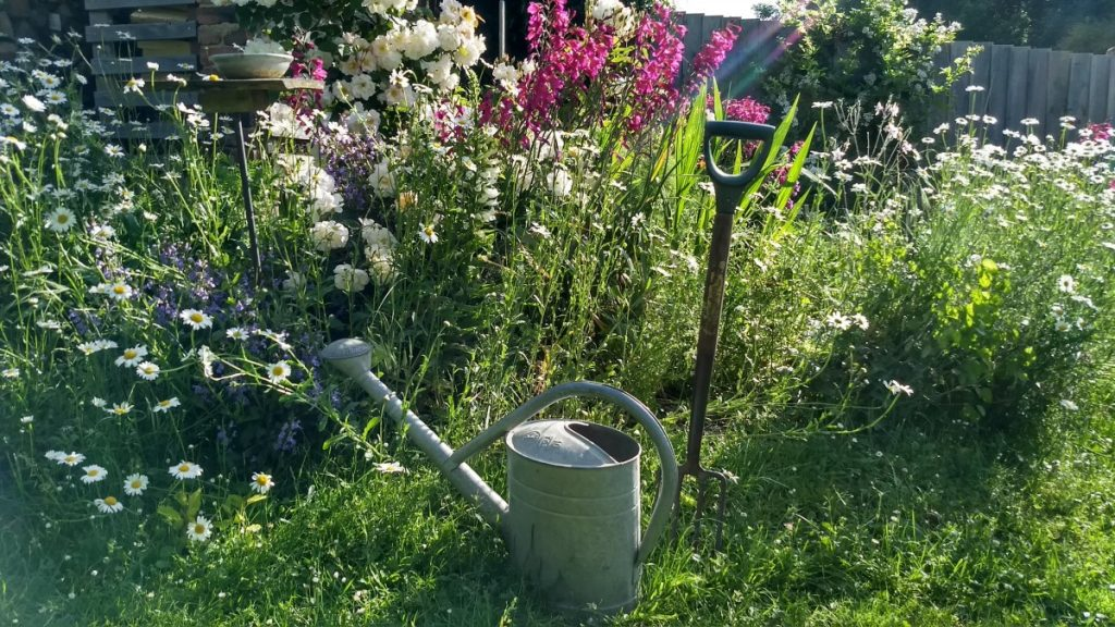An english garden in the early morning, with roses, gladioli and ox-eye daisies