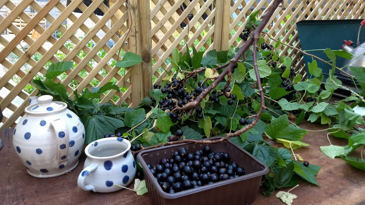 Harvesting blackcurrants - pruned branch lying on a table for the berries to be picked off in comfort
